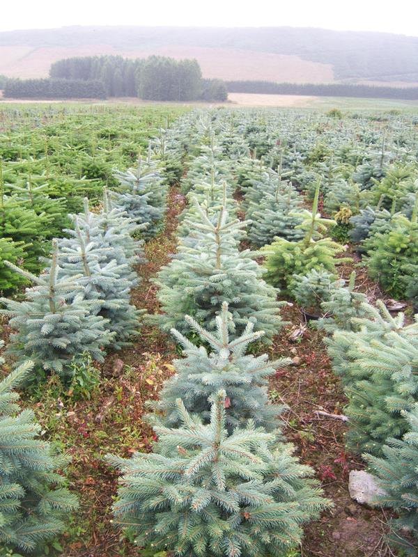 they have far less chance of surviving after christmas than trees that are properly pot grown the quality reflects the difference