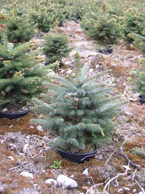 Blue Spruce And Korean Fir Christmas Trees Needlefresh Uk