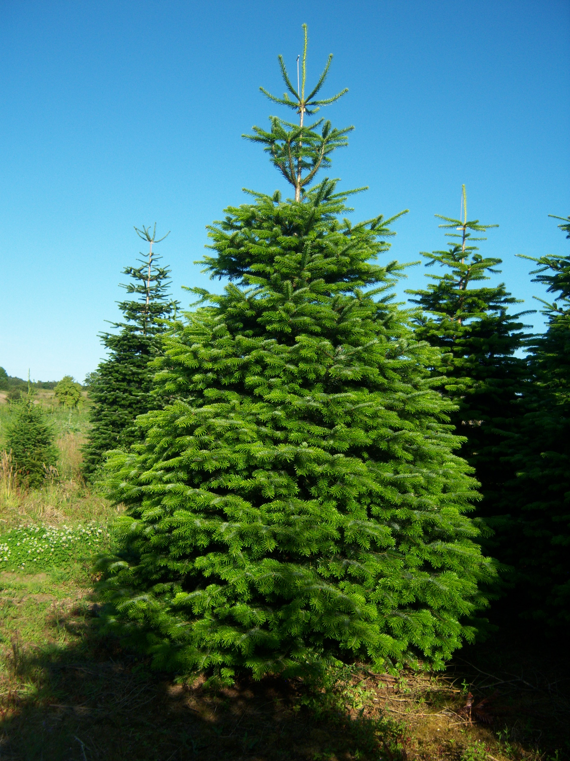 Nordman Fir Fraser Fir And Noble Fir Christmas Trees