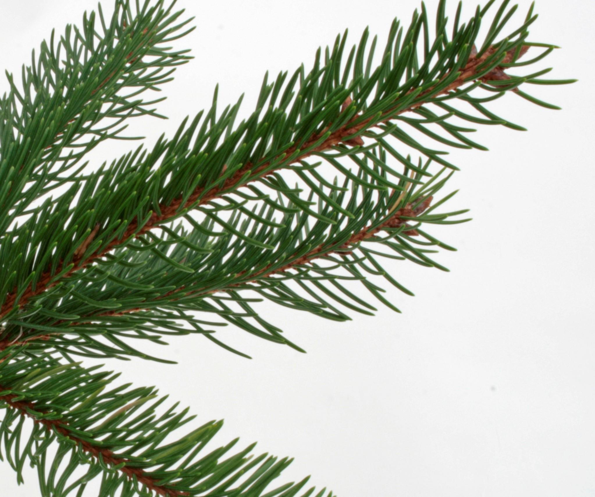 Norway Spruce and Serbian Spruce Christmas Trees | Needlefresh UK